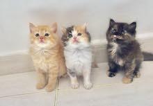 قطط شيرازي بيور اناث وذكور