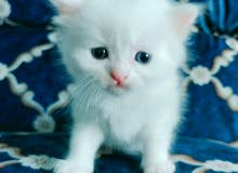 Soft blue eyes playful persian kittens for sale. Eat and use litter.