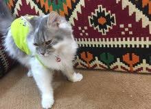 قطه ودوده للبيع