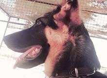 كلب جيرمن شبرد لونج هير بيور (ذكر)
