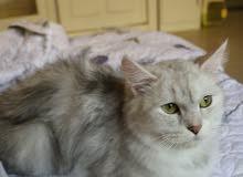 قطة بيضاء رمادي للبيع ب350 ريال