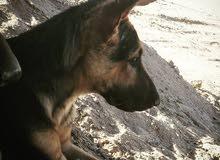 كلب مفقود ومن يجده له مكافأه