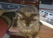 قطط شيراز وشانشيلا ذكر وأنثى
