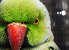 ترقبو افتتاح محل طيور عند دوار المغسله