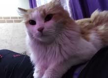 قطه البيع من جرش