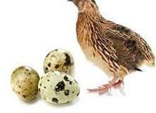 بيض فري مخصب للفقاسات