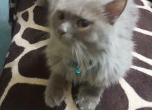 قطة شيرازي عمر 6شهور