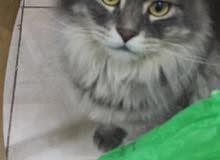 هذه القطه ضايعه الي يحصلها ياليت يخبرني