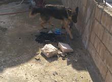 كلب جيرمن شبرد ابيور لونج هير مستورد من اكورانيا  الكلب عمر 7 شهور