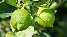 ليمون عماني ثامر يثمر مرتين فسنه ثمرته كبيره