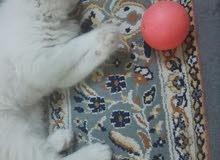 قطه شيرازيه بحاله ممتازه