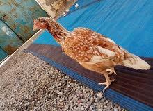 دجاجه باكستانيه.