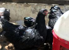 دجاج براهمة نخب