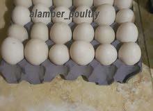 بيض بط مسكوفي