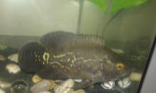 سمكة أوسكار للبيع مفترس ما شاء الله عليها