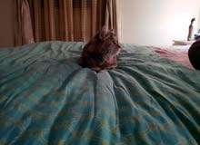 Persian Kitten for Adoption