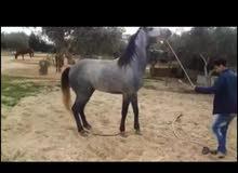 احصان انجليزي