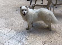 كلب روسي