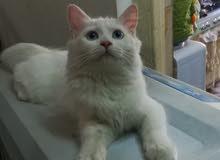 قطه للبيع شيرازي عمر خمس اشهر