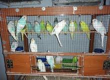 عصافير بادحى