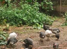 للبيع دجاج كنجا