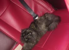 قط شرازي العمر 6اشهر