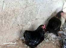 دجاجتين عربيات مجنسات على اسارالي ايدحو