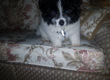 كلب شيتزو دبدوب صغير