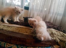 4 قطط شرازى بيوى مون فيس 3 ولاد و بنت جمال جدآ