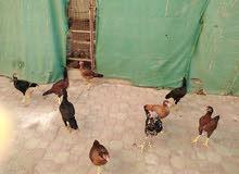 دجاج مكراني للبيع