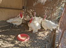 دجاج رومي منتج عمر سنة وثلاثة أشهر