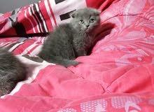 للبيع قطه اسكوتش فولد جميله بيور