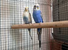 Home breed Jumbo budgie pair and hand feeding chicks for rehoming