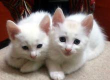 free adoption kitten