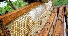 نحال خبير في تربية النحل والانتاج