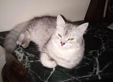 قطة شيرازى جيراى سبع شهور