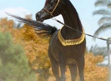 ماشاء الله تبارك الله. للبيع حصان عربي اصيل بطل ابن ابطال ادهم فحل طلوقه ممتاز