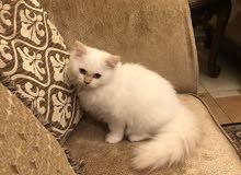 Beautiful female kitten