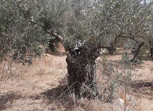 أشجار زيتون للبيع