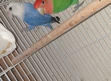 opline 100 % breeding pair