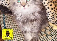 قطط اناثي للبيع