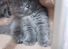 قطط برتش شورت هير بلو تابي