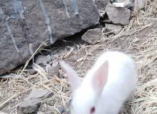 ارنب مصري 2