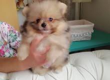 Pure Pomeranian Puppies