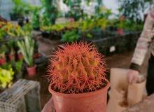 نبات زينة داخلي لاجزاء المنزل الداخلية