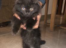 قطة شيرازي 3 اشهر