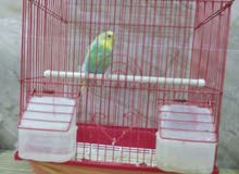 طير هند
