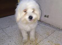 كلب فرش تيرير ذكر 5شهور للبيع
