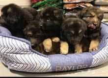 كلاب جيرمان