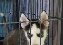 كلب هاسكي husky dog